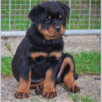 profile image of rottweiler.1