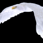 profile image of whiteeagle